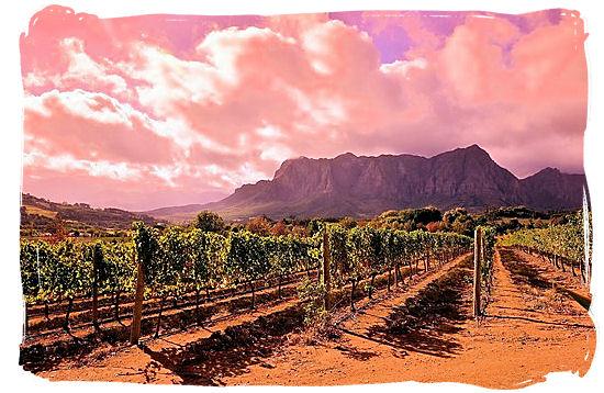 Vineyard in the Franschhoek wine valley