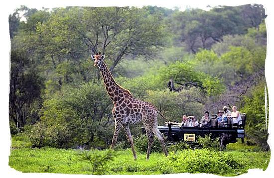 Game drive and Giraffe encounter - Tsendze camp