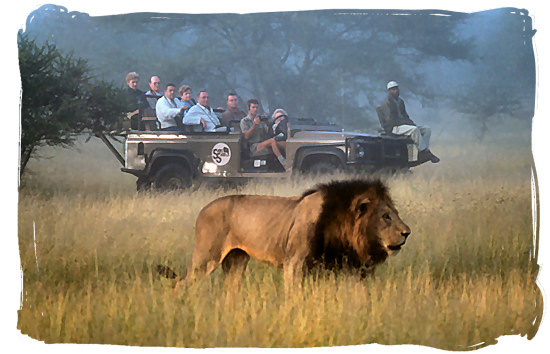 Game drive encounter with a black-mane nale lion