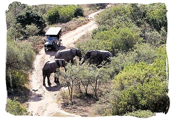 Game drive and Elephants encounter in the middle of the African bushveld