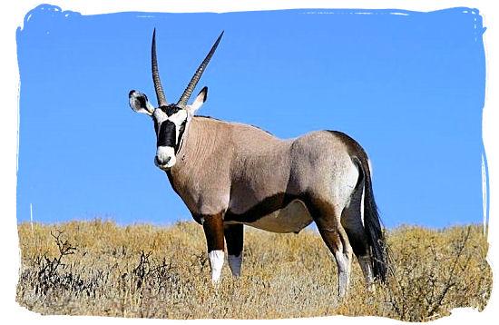The Gemsbok (Oryx Gazella), indigenous to the arid regions of southern Africa - West Coast National Park Activities, South Africa National Parks