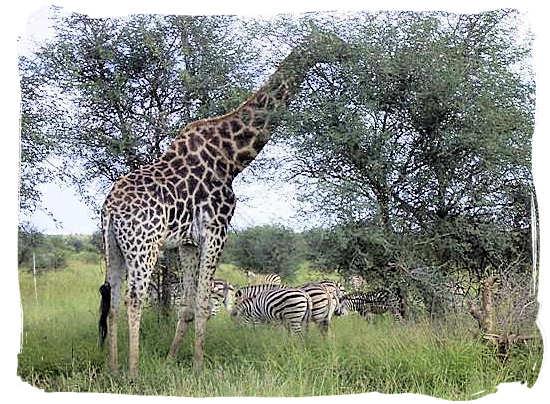 Giraffe and Zebras in the Kruger National Park
