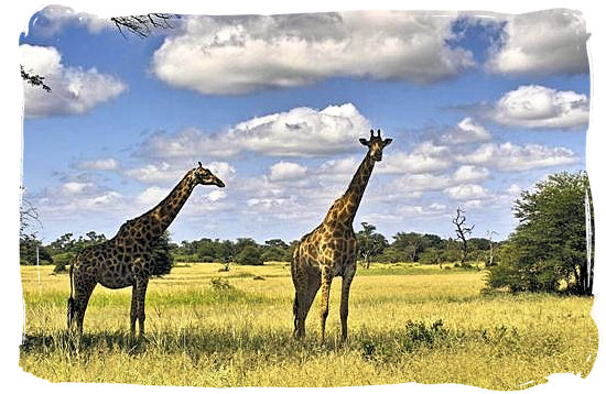 Giraffes on a wide-open grassy plain in the Kruger Park - Orpen rest camp in the Kruger National Park, South Africa