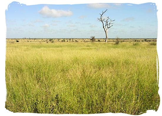 Lush grassy plains near Satara rest camp