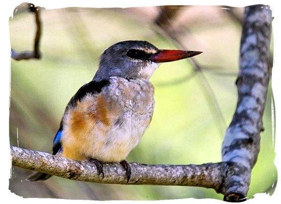 Grey-headed Kingfisher near Punda Maria