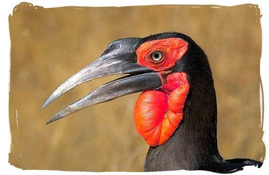 Ground Hornbill - Tsendze Camping site, Kruger National Park, South Africa