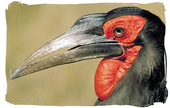 Portrait of a Ground Hornbill near Orpen camp in the Kruger National Park, South Africa