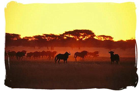 Herd of wildebeest (Gnu's) at daybreak