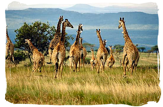 Herd of running Giraffes