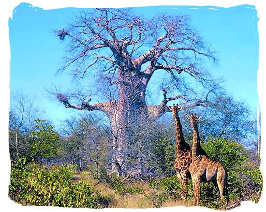 Huge Baobab tree - Sirheni Bushveld Camp, Kruger National Park Safari, South Africa