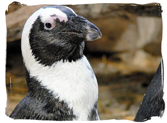 Profile of a Jackass penguin - Cape Town holiday attractions, Table Mountain National Park