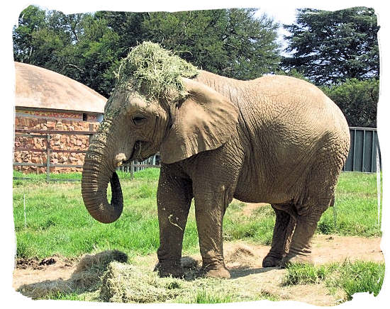 In the Johannesburg zoo, this Elephant kept putting her food on top of her head - City of Johannesburg South Africa Attractions, the Top 15