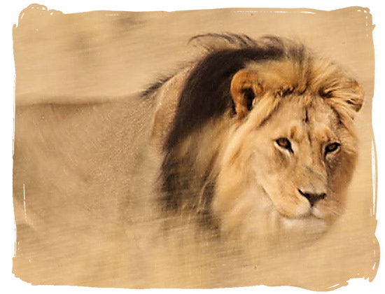 Black mane Kalahari Lion in the Kalahari desert - Kgalagadi Transfrontier National Park in South Africa