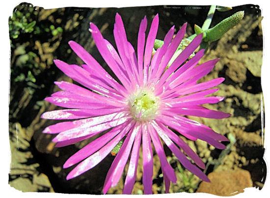 Karoo flower