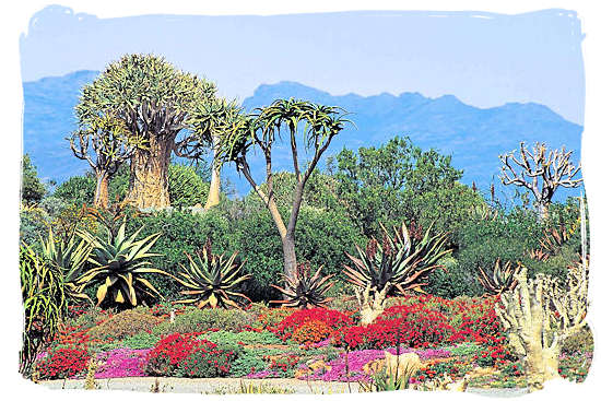 The Karoo National Park South Africa, Little Karoo, Great Karoo - Typical Karoo plant life on show in the National Karoo Botanical Gardens at Worcester