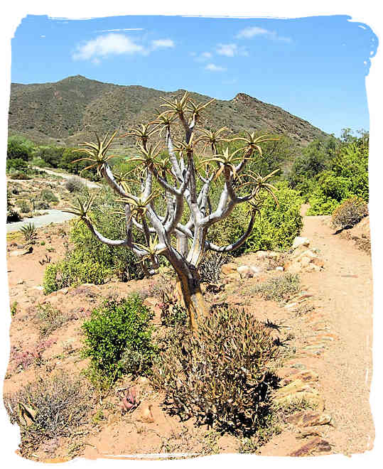 Typical Karoo landscape in the National Botanical Gardens at Worcester - The Great Karoo Climate, Karoo National Park South Africa