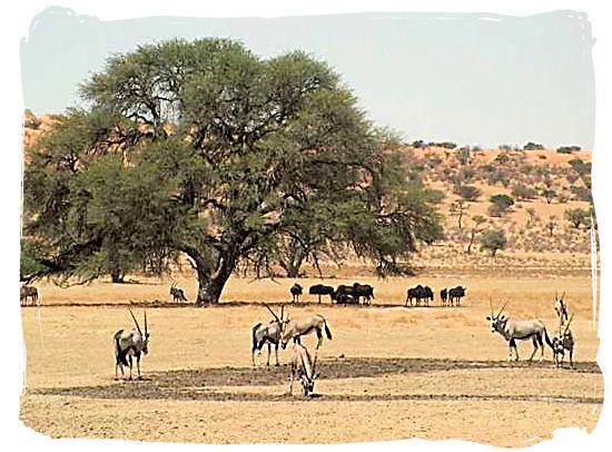 Landscape in the Kgalagadi - Kalahari Camp, Kgalagadi Transfrontier Park, South Africa