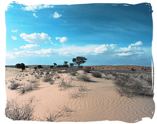 The semi-arid habitat of the Kgalagadi Transfrontier Park in the southern Kalahari desert