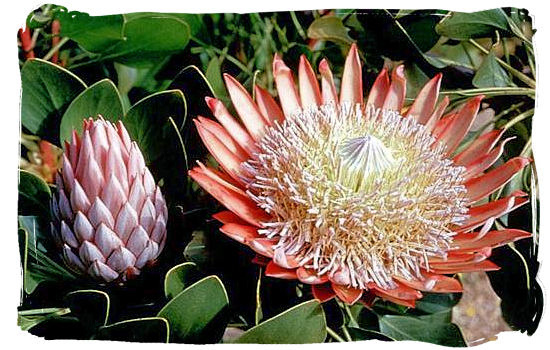 "The King Protea, one of the most beautiful ""fynbos"" flowers of the Cape Floral Kingdom and also one of the national symbols of South Africa"