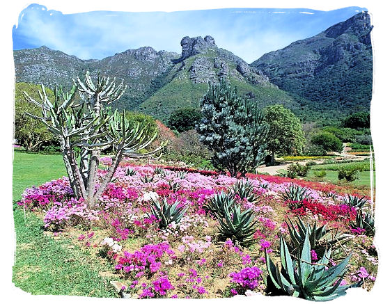 Landscape at Kirstenbosch with some Aloe plants in the foreground - Kirstenbosch Botanical Gardens, Home to Stunning Protea flowers