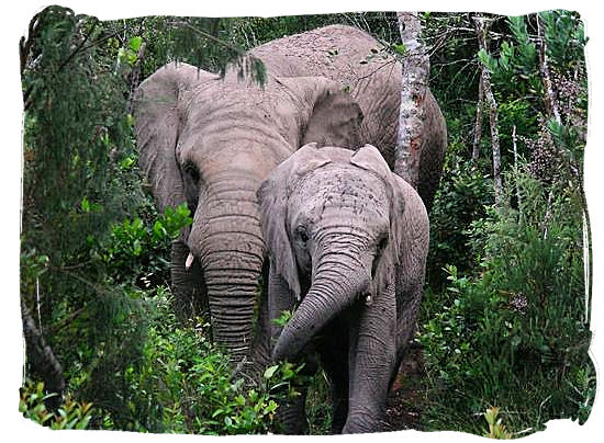 Elephants in the Knysna forest