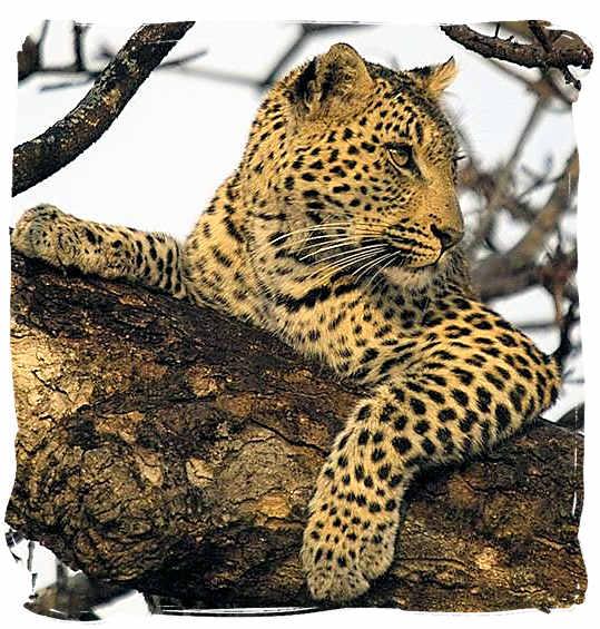 Leopard on the lookout - Kieliekrankie Wilderness Camp, Kgalagadi Transfrontier Park