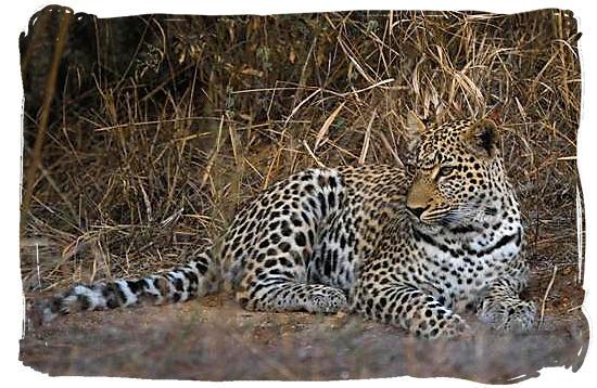 Lazy Leopard - Urikaruus Wilderness Camp, Kgalagadi Transfrontier Park