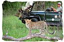 People in a safari game drive vehicle watching a Leopard in a tree