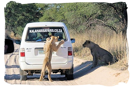 The curiosity of a Lioness youngster gets the better of her - The Kalahari desert, place of breathtaking Kalahari safaris