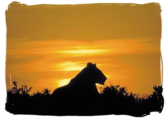 Silhouette of a Lioness against the light of the setting sun - Kruger National Park Camps, Kruger National Park, Map, Tours, Safaris
