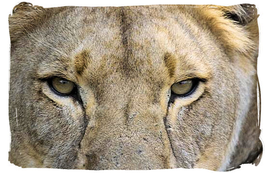 This Lioness is watching you
