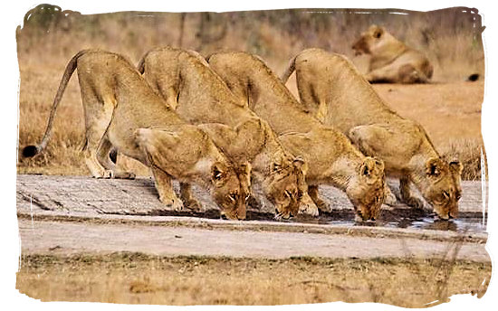 Lionesses slaking their thirst at a waterhole - Kgalagadi Transfrontier Park in the Kalahari