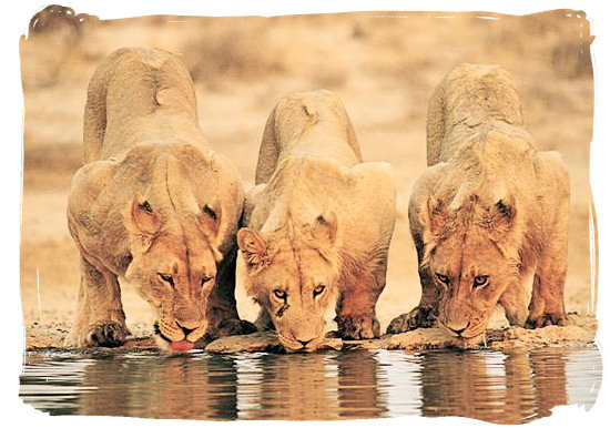Thirsty lions at a waterhole.