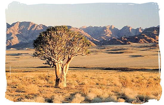 The Augrabies Falls National Park, Augrabies Resorts, South Africa - A lonely Giant Quiver Tree