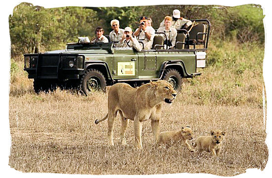 Lion encounter on a game drive in Mala Mala private game reserve