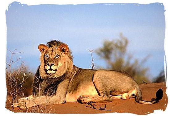 Lion male - The Nossob Camp, Kgalagadi National Park, Kgalagadi Photos