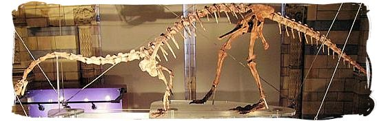 Skeleton of the massospondylus at the Natural History Museum in London