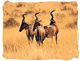 Red Hartebeest antelopes in the Mokala National Park