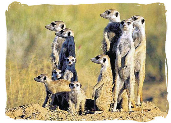 Mongoose family, divided attention
