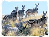 Herd of Mountain Zebras in the Mountain Zebra National Park