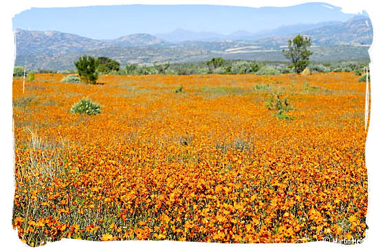 Fields upon fields of flowers - Namaqualand National Park and the Namaqua flowers spectacle