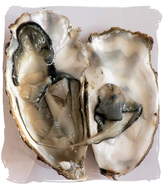 "Raw opened oyster, part of the diet of the ""Strandloper"" Khoy people who lived close to the beach - South Africa food history and culture"