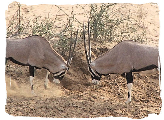 Two male Oryx antelopes meeting heads on - The Kalahari desert, place of breathtaking Kalahari safaris