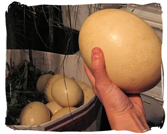 Ostrich eggs, a favourite with the San and the Khoi people - South Africa food history and culture