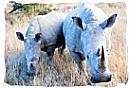 Pair of White Rhinos