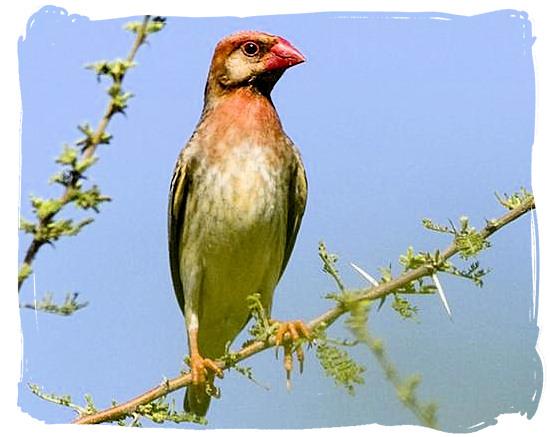 Red-billed Quelea - mapungubwe information