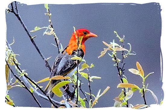 Red-headed weaver - Pretoriuskop