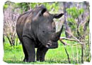 The Rhino, a member of the Big Five