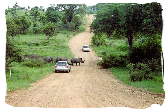 Berg en Dal Rest Camp, Kruger National Park, South Africa - Rhinos crossing a gravel road near the Camp