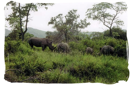 Berg en Dal Rest Camp, Kruger National Park, South Africa - Rhinos near the Camp